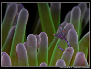 Symbiotic Shrimp....