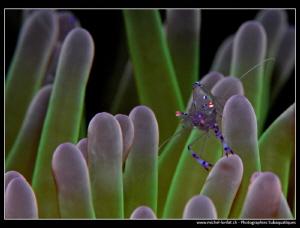 Symbiotic Shrimp....  by Michel Lonfat