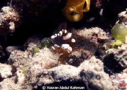 Its Squat Shrimp... by Yusran Abdul Rahman