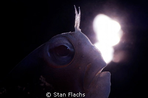 Blenny in backlight by Stan Flachs