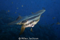 Batfish visits a cleaning station during a dawn dive. by Miles Jackson
