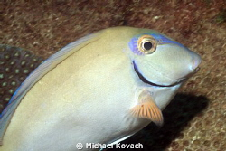 Ocean Surgeonfish on the Big Coral Knoll off the beach in... by Michael Kovach