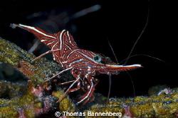 "hingebeak prawn  NIKON D7000 in a Seacam ""Prelude"" uw h... by Thomas Bannenberg"