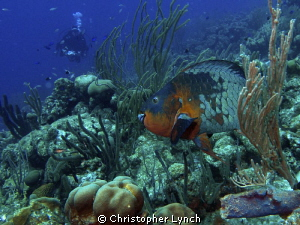 Rainbow Parrotfish [terminal phase ] they are hard to get... by Christopher Lynch