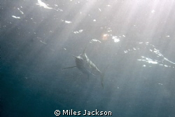 This monstrous 4m Sailfish passed by at some speed, unfor... by Miles Jackson