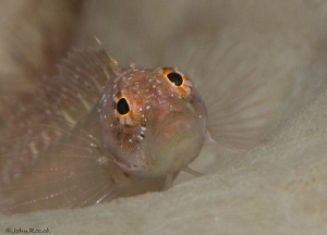 """OMG.....Ringed blenny   Starksia hassi at """"Vista Blue """" B... by John Roach"""