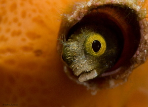 "Just clownin around. Secretary blenny. ""Front Porch"" Bonaire by John Roach"