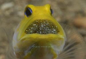 2 days aaaand counting! Phew! Male Yellowhead jawfish wi... by Suzan Meldonian