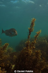 Snapper among the sea weeds by Daniel Poloha