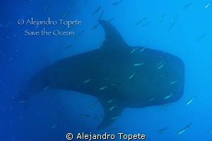 Whale Shark siluet, Galapagos Ecuador by Alejandro Topete