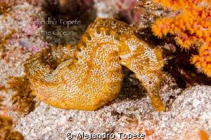 Orange Sea Horse, Galapagos Ecuador by Alejandro Topete