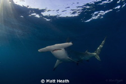 Great Hammerhead at the surface by Matt Heath