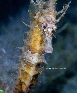 Spike Hippocampus erectus, Blue Heron Bridge, FL by Suzan Meldonian
