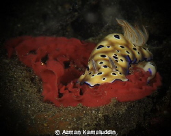 RISBECIA TRYONI with eggs..! by Azman Kamaluddin