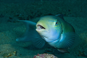 Ascension Island Tilefish. by Paul Colley
