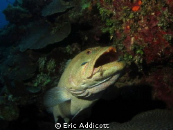 Grouper in cleaning station, Roatan, Honduras by Eric Addicott