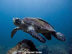 Hawks-Bill Turtle with a sucker Fish taken while scuba di... by Daniel Sasse
