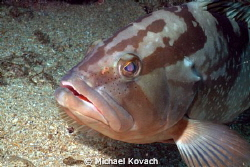 Red Grouper on the Big Coral Knoll off the beach in Fort ... by Michael Kovach
