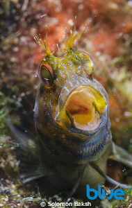 Seaweed Blenny taken at only 15 feet in Trinidad. 