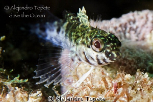 Litle Blenny, Acapulco Mexico by Alejandro Topete