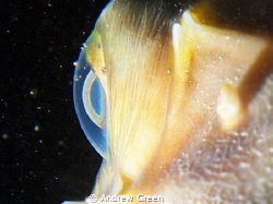 Tokina 10-17mm +1.4 teleconverter. Porcupine fish, other... by Andrew Green