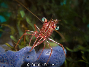 Hinge-beak Shrimp on a blue sponge by Beate Seiler