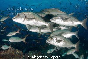 Pargos en Grupo, Galapagos Ecuador by Alejandro Topete