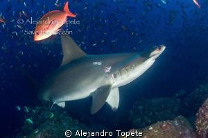 Hammerhead Shark, Galapagos Ecuador by Alejandro Topete