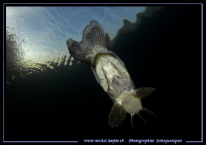Adult Pike fish having a meal (a Trout)... ;O)... by Michel Lonfat
