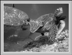 """Move Over"" - Hawaiian Green Sea Turtle the ""Honu"" pushin... by Glenn Poulain"