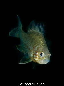 Pumpkinseed fish by Beate Seiler