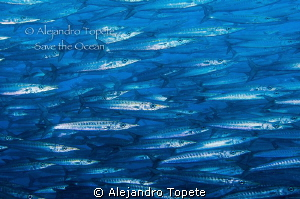 Barracuda group Close, Galapagos Ecuador by Alejandro Topete