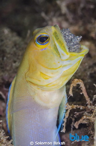 Yellowhead Jawfish brooding eggs in mouth.