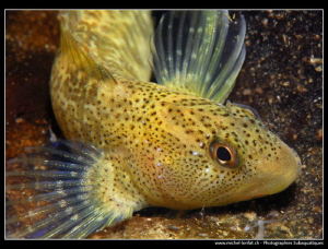 Freshwater Blennie... :O).. by Michel Lonfat
