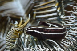 Feather star (or comatulid) with visitor  NIKON D7000 i... by Thomas Bannenberg