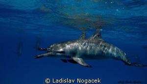 Spinner dolphins by Ladislav Nogacek