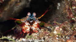 Peacock Mantis Shrimp.   Which way is forward?  The eyes... by Ted Timmons
