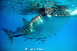 Feed time.  Taken at Oslob, Cebu.  Where the local fish... by Jamie Coote
