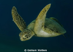 A Turtle . Picture taken in the Red Sea Egypt by Graham Watters