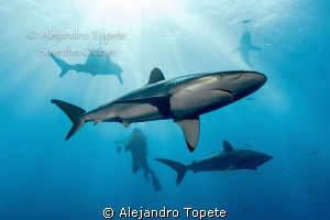 Shark with Photographer and siluets, Gardens of the Queen by Alejandro Topete