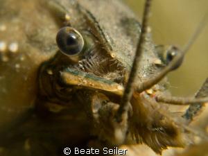 Crayfish close-up by Beate Seiler
