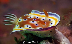 A Chromodoris geminus makes its way towards the camera le... by Jim Catlin