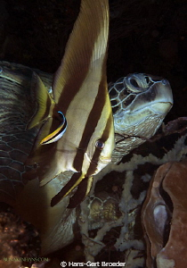 Green Turtle,Batfish+ Cleaner,