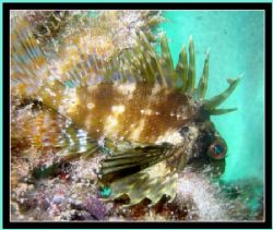 Green Lionfish shot @ ~35' depth, west shore of Oahu, Haw... by Glenn Poulain