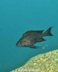 Featherfin cichlids from Lake Tanganyika have an interest... by Moritz Muschick