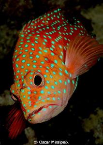 coral grouper by Oscar Miralpeix