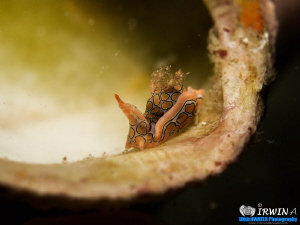 Psychedelic Batwing Slug ( Sagaminopteron Psychedelicum )... by Irwin Ang