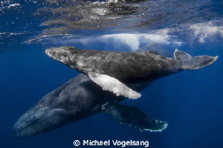 A humpback whale and her calf by Michael Vogelsang