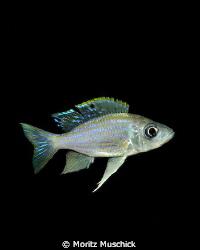 Featherfin cichlid fish (Aulonocranus dewindtii) in Lake ... by Moritz Muschick