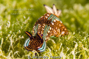 Nudibranch on the Green, Acapulco Mexico by Alejandro Topete